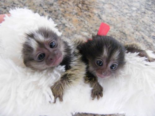 Pensillita Marmoset Animals for sale in Flora Cove, Austin, TX 78746, USA. price -USD