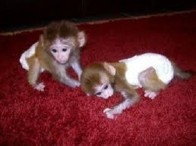 Pensillita Marmoset Animals for sale in Los Angeles, CA, USA. price -USD