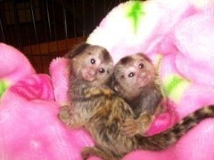 Pensillita Marmoset Animals for sale in Houston, TX, USA. price 250USD