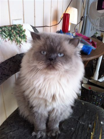 Persian Cats for sale in Stockbridge, GA, USA. price 650USD