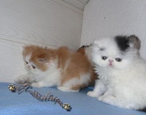 Persian Cats for sale in Harrisburg, PA, USA. price 700USD