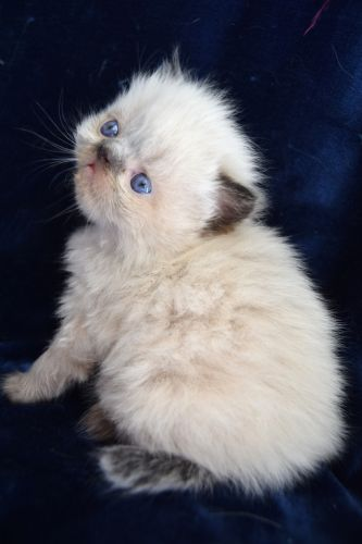 Persian Cats for sale in Southern California, CA, USA. price 750USD