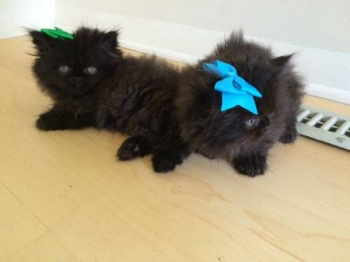 Persian Cats for sale in Los Angeles, CA, USA. price 399USD