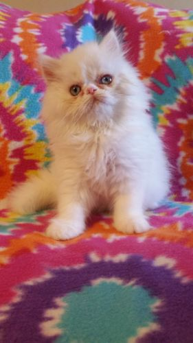 Persian Cats for sale in Kingston, GA 30145, USA. price 450USD