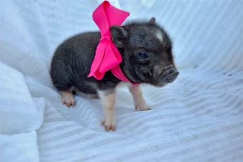 Pig Animals for sale in Laguna Hills, CA, USA. price 800USD