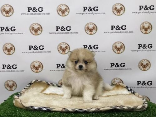 Pomeranian Puppies for sale in Temple City, CA, USA. price 1750USD