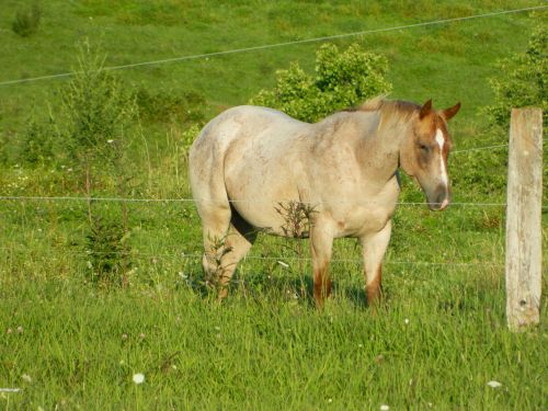 Quarter Horse Horses for sale in Philippi, WV 26416, USA. price 1500USD