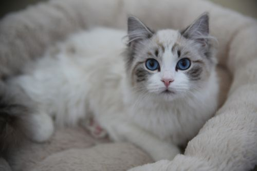 Ragdoll Cats for sale in New York, NY, USA. price 800USD