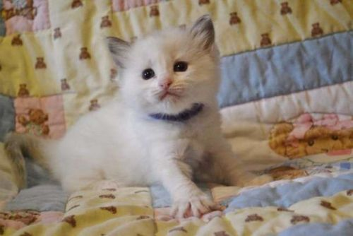 Ragdoll Cats for sale in New York, NY, USA. price 500USD