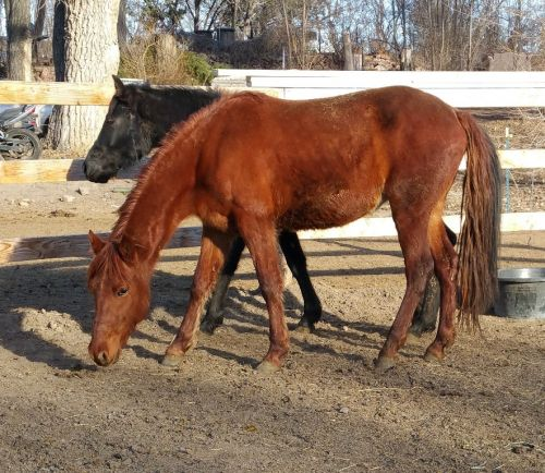 Rocky Mountain Horse Horses for sale in Castle Rock, CO, USA. price 1500USD