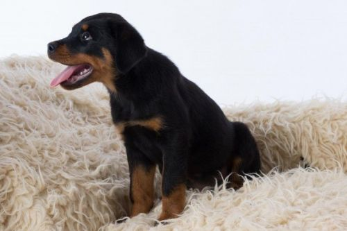 Rottweiler Puppies for sale in Maryland Ave, Rockville, MD 20850, USA. price 500USD
