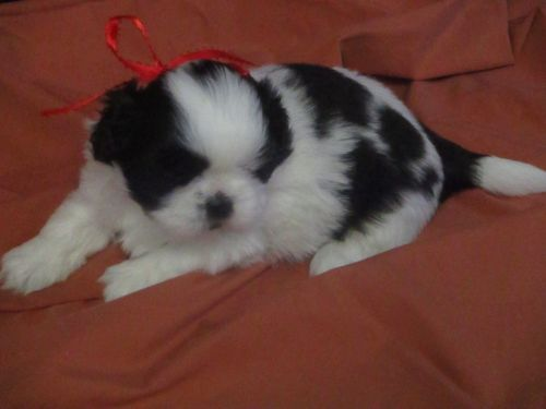 Shih Tzu Puppies for sale in Murphy, NC 28906, USA. price 600USD