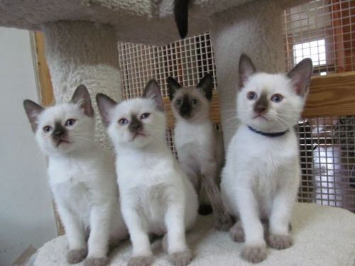 Siamese Cats for sale in Waterford Twp, MI, USA. price 500USD