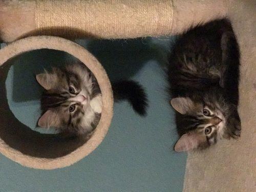 Siberian Cats for sale in Carrollton, MO 64633, USA. price 1200USD