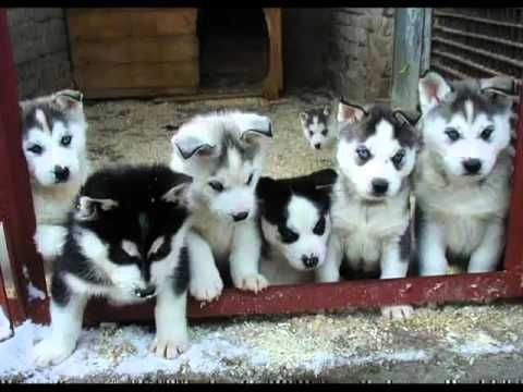 Siberian Husky Puppies for sale in Virginia Ave, Alexandria, VA 22302, USA. price 300USD