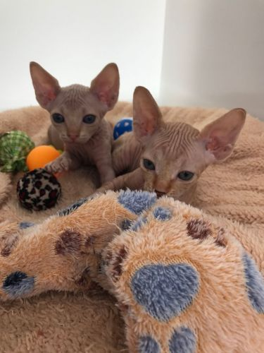 Sphynx Cats for sale in Miami Gardens, FL, USA. price -USD