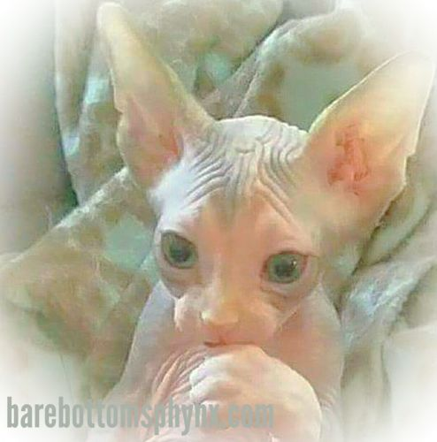 Sphynx Cats for sale in Temecula, CA, USA. price -USD