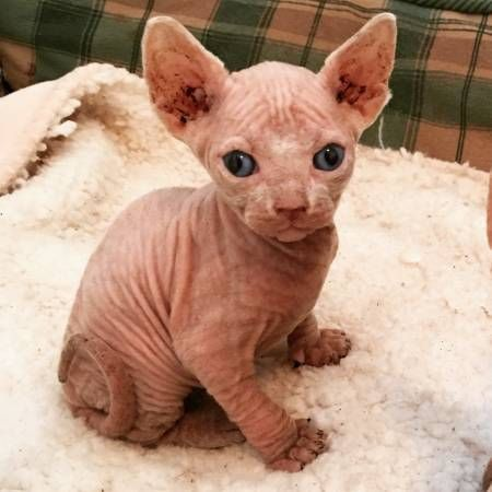 Sphynx Cats for sale in Los Angeles, CA, USA. price 601USD