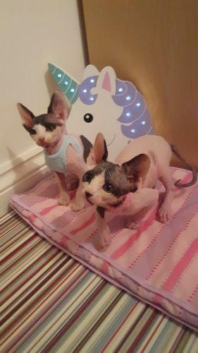 Sphynx Cats for sale in Miami Gardens, FL, USA. price -USD