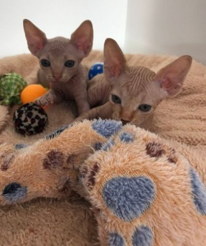 Sphynx Cats for sale in Los Angeles, CA, USA. price 800USD
