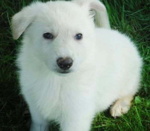 White Shepherd Puppies for sale in Seattle, WA, USA. price 600USD