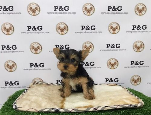 Yorkshire Terrier Puppies for sale in Temple City, CA, USA. price 1350USD