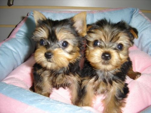 Yorkshire Terrier Puppies for sale in New York, NY, USA. price 500USD
